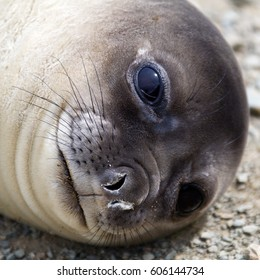 Young Southern Elephant seal in Antarctica