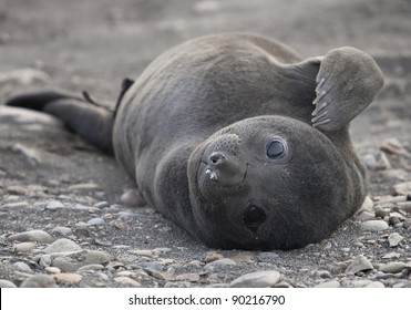 young southern elephant seal (Mirounga leonina)