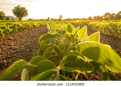 Young soy plants growing in a field, lit by warm late evening