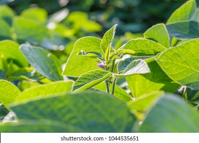 Young soybean plants with flowers on soybean cultivated field. Agricultural soy plantation background. Green growing flowering soybeans.