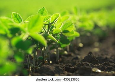 Young soybean plants growing in cultivated field, selective focus