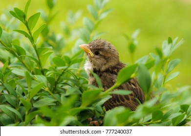 Young sparrow bird in Poland in green leaves