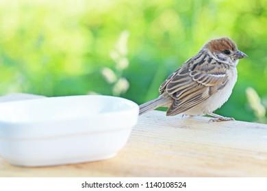 Young sparrow on bird table.