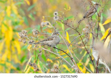 Young sparrows are sitting on the dry branches of a large burdock. The house sparrow (Passer domesticus) is a bird of the sparrow family Passeridae.