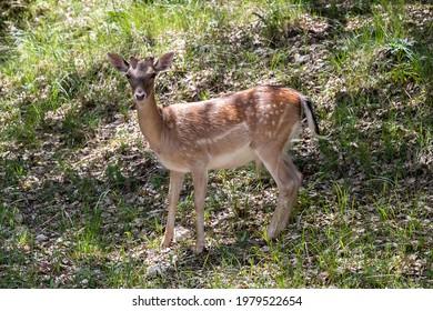 Young specimen of fallow or European Deer in the Sierra de Cazorla. The scientific name is Dama dama, sometimes called Cervus dama, it is a species of deer native to the Mediterranean region. - Shutterstock ID 1979522654