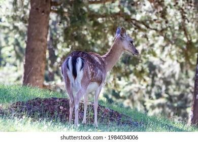Young specimen of fallow or European Deer in the Sierra de Cazorla. The scientific name is Dama dama, sometimes called Cervus dama, it is a species of deer native to the Mediterranean region. - Shutterstock ID 1984034006