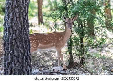 Young specimen of fallow or European Deer in the Sierra de Cazorla. The scientific name is Dama dama, sometimes called Cervus dama, it is a species of deer native to the Mediterranean region.