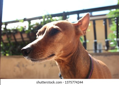 young specimen puppy dog breed. pet in the terrace of the house where he lives proud. female zwerg pinscher red or brown color