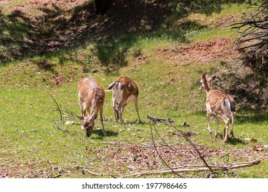 Young specimens of fallow deer or European Deers in the Sierra de Cazorla. The scientific name is Dama dama, sometimes called Cervus dama, it is a species of deer native to the Mediterranean region. - Shutterstock ID 1977986465