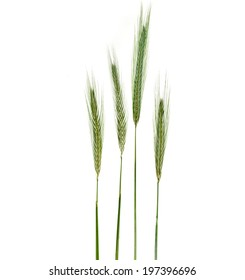 Young Spikelet Barley of green meadow grass isolated on white background