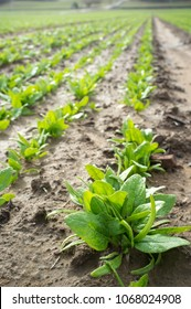 Young spinach plants at farmland. Vegas Bajas del Guadiana, Spain