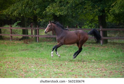 a young sport bay horse with white front legs galloping of a green meadow surrounded by trees