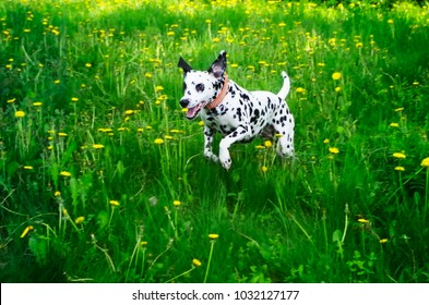 A young spotted Dalmatian runs along a green field with yellow flowers
