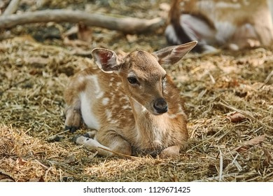 Young Spotted Deer Lies on the Ground