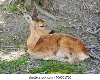Young spotted deer seen lying on the forest floor