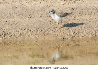 A young Spotted Sandpiper walks in the sand along the edge of the water. Hanlan's Point, Toronto, Ontario, Canada.