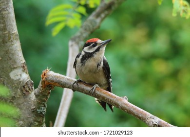 Young spotted woodpecker on a branch
