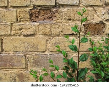 Young sprig of elm 'Ulmus minor' with green foliage against a yellow-brown brick wall. Beautiful floral vintage background-template with large copy space