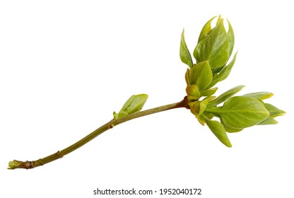 Young spring branch of lilac isolated on white. Spring mood. Lilac twig extracted on white background