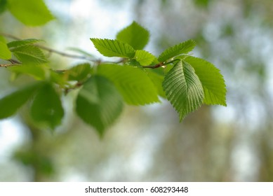 Young spring leaves