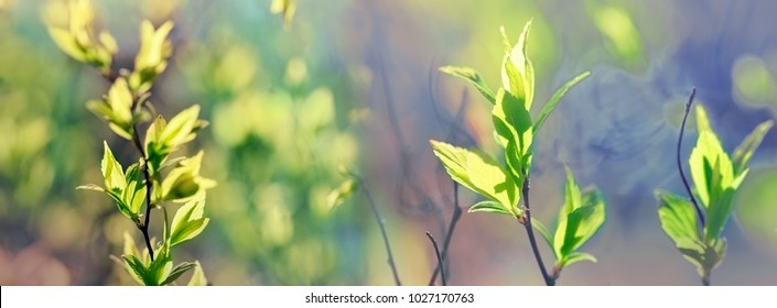Young spring leaves, forest in the spring - awakening nature