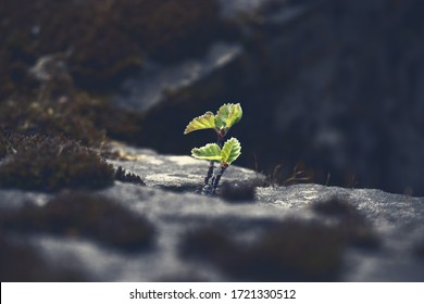 Young spring maple tree growing through stones