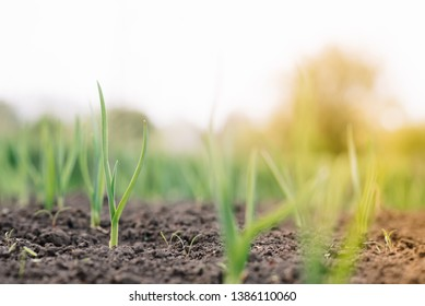 Young spring onion sprout on the field. Organically grown onions with chives in the soil. Organic farming.