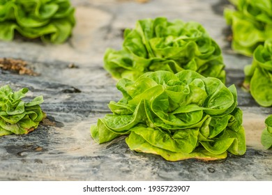 Young spring organic lettuce planted in a greenhouse.