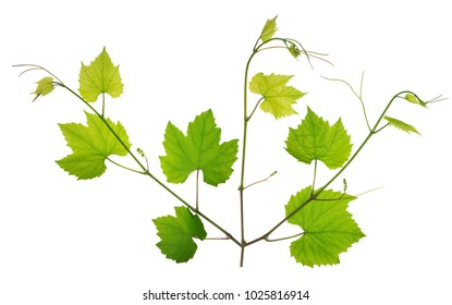 Young  spring twigs  leaves and branches  of wine grapes. Isolated on white studio concept