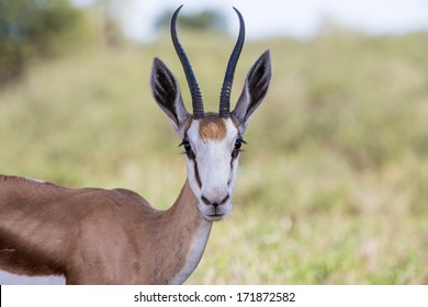 A young springbok close up looking right into the camera lens