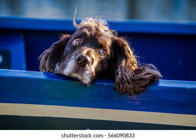 A young springel spaniel is on board of a blue boat watching around with his sweet eyes.