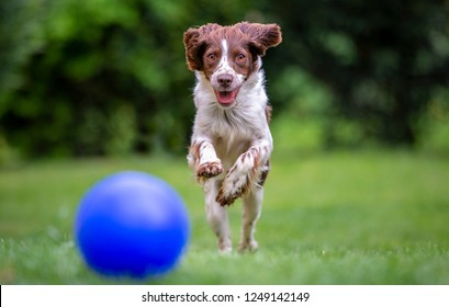 Young Springer Spaniel having fun chasing a blue ball across the lawn.