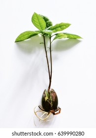 A young sprout of avocado from a seed on a white background. Seed of avocado.