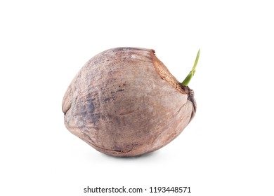 young sprout of coconut fruit on white background planting agriculture isolated
