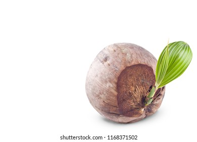young sprout coconut seeding on white background planting agriculture isolated