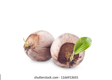 young sprout coconut seeding  is ready for planting on white background planting agriculture isolated