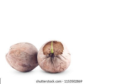 young sprout of the coconut tree and ripe coconut on white background planting agriculture isolated