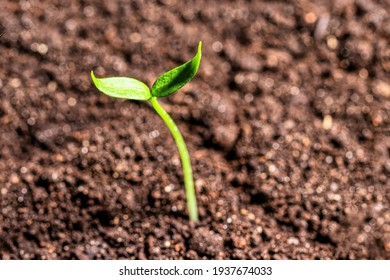 Young sprout in the ground with green leaves. Growth, development and springtime concept.