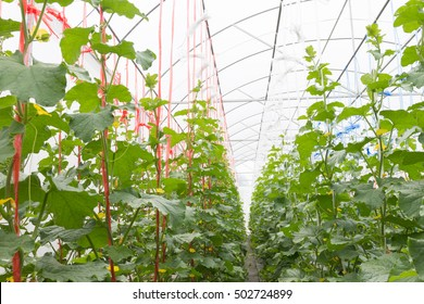 young sprout of Japanese melons or cantaloupe plants growing in greenhouse supported by string nets.