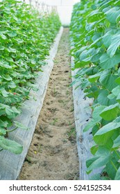 young sprout of Japanese melons or green melons or cantaloupe melons plants growing in greenhouse supported by string melon nets.