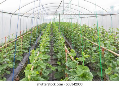 young sprout of japanness melons or green melons or cantaloupe melons plants growing in greenhouse supported by string melon nets.