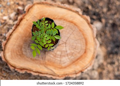 Young sprout of tree (rosewood, Siamese rosewood, or tracwood) in black seeding bag put on top of tree stump. Replacement and environment concept