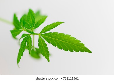 Young sprouts of cannabis on a light background.