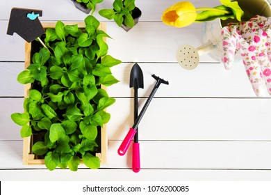 Young sprouts, shoot, seedling, sapling in a wooden box with topper and garden tools. Flat lay with copy space