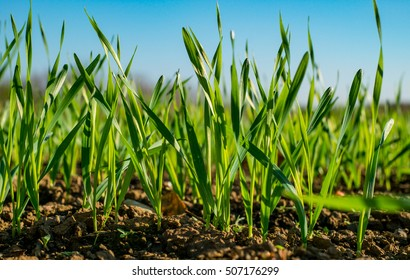 Young sprouts of wheat, closeup view.