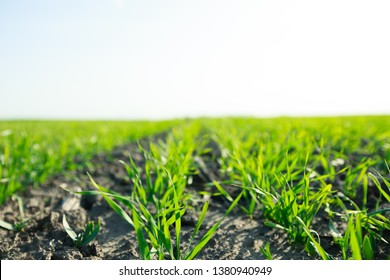 young sprouts of winter wheat of grain crops. Young green sprouts line. Fertile agricultural land. Symmetrical lines of shoots of grain crops. field of young wheat, barley, rye.
