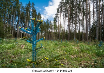 Young spruce detail with blue painted needles. Picea. Forest renewal. New growth of small coniferous trees. Reforestation. Green conifers and blue sky in spring landscape. Forestry, silviculture, eco