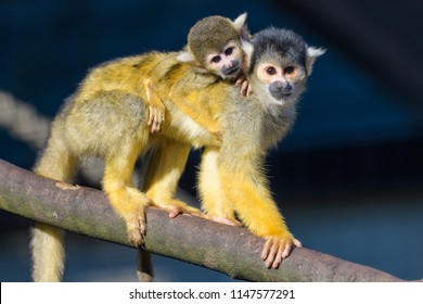 Young Squirrel monkey riding on the back of its mother