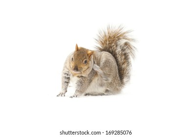 young squirrel on white background