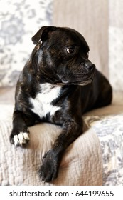 A young Staffordshire Bull Terrier male relaxing on sofa